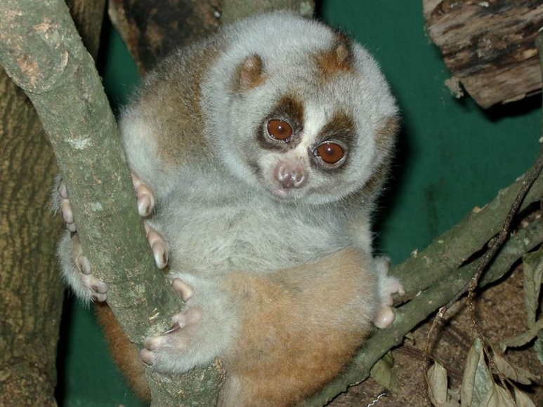 07091001-BengalSlowLorisCredit-KFBG_resized_972x729.jpg